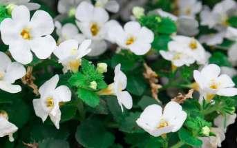 Bacopa monnieri e memoria: i benefici della pianta ayurvedica